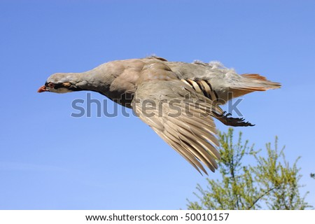 Taxidermy Chukar (alectoris chukar) in flight against a blue sky