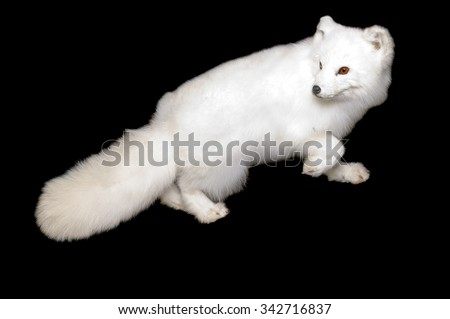 Taxidermy full body mount of a an Arctic fox in its white winter phase isolated on black