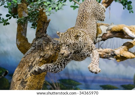 Taxidermy of a Leopard jumping from a tree.
