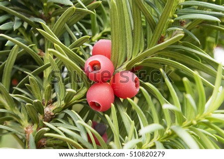 taxus baccata english yew european yew stock photo royalty free