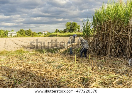 TAY NINH, VIETNAM - NOV 25, 2014: Workers havesting sugar cane on field at Tay Ninh, Vietnam.