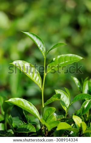 Tea bud and leaves. Tea plantations, Sri Lanka - stock photo