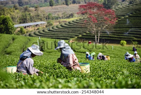 Tea Collection Tea Plantation Keep the focus on the tea leaves Blur the foreground and background . - stock photo