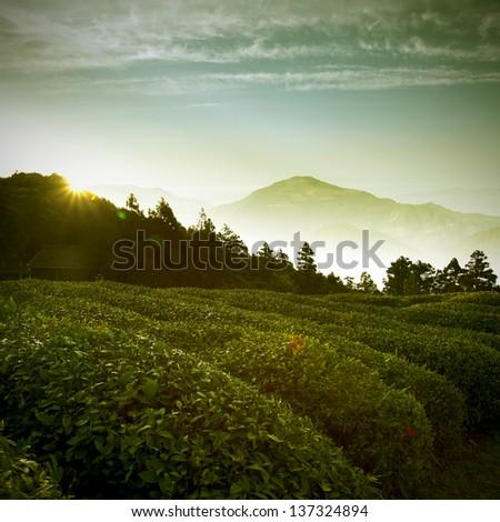 Tea cultivation - stock photo