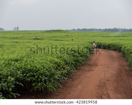 tea cultivation in Malawi