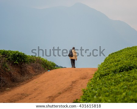 tea cultivation in Malawi  - stock photo