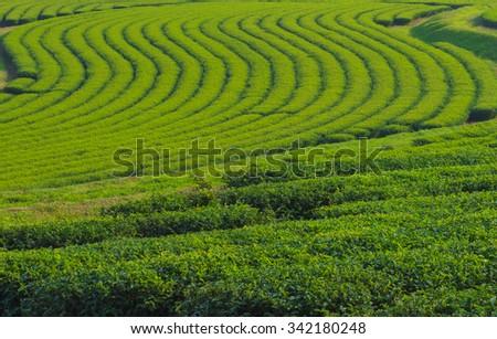 Tea farm Background - stock photo