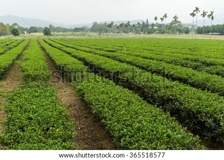 Tea farm in luye