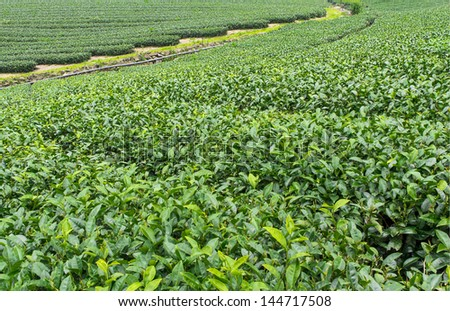 Tea farm, Mountain Alishan, Taiwan - stock photo