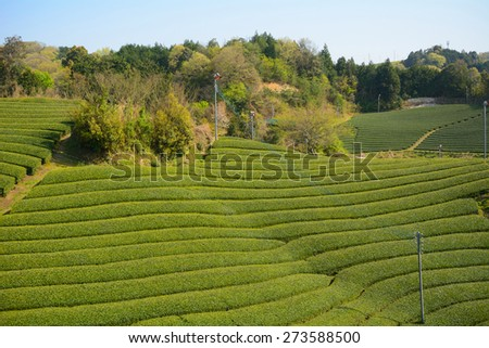 Tea farm, Wazuka, Japan - stock photo