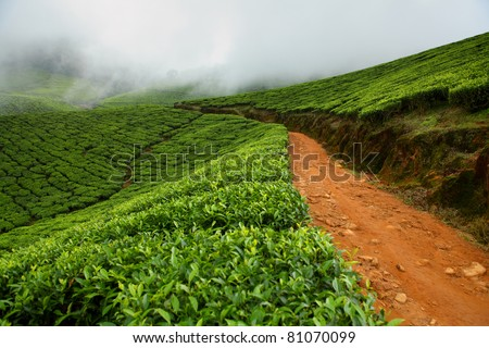 Tea field in munnar kerala, India