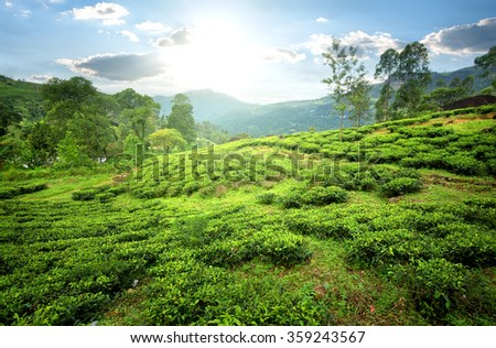 Tea fields of Nuwara Eliya in mountains