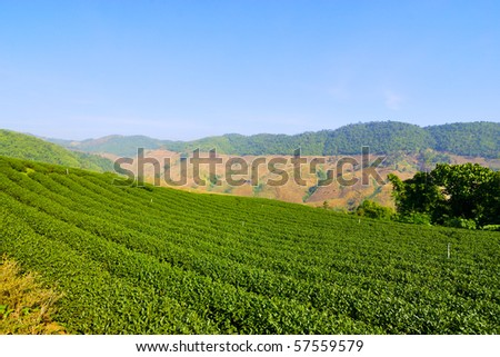 Tea garden under blue sky in Chiang rai Thailand - stock photo