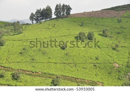 Tea Gardens, Ooty - stock photo