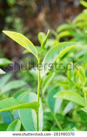 Tea leaf                      - stock photo