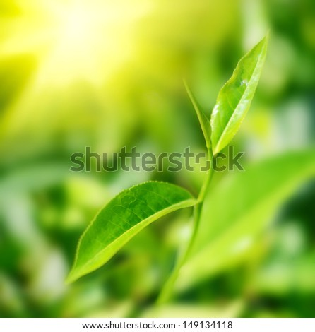 Tea leaf early in the morning - stock photo