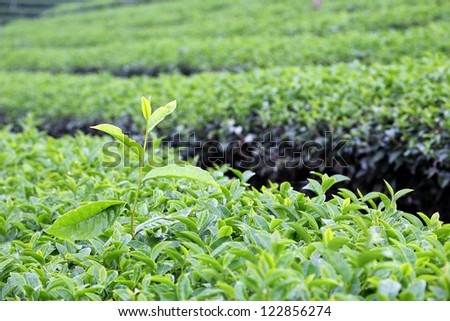 Tea Leaf with morning - stock photo