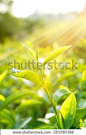 Tea leaf with the sunshine                    - stock photo