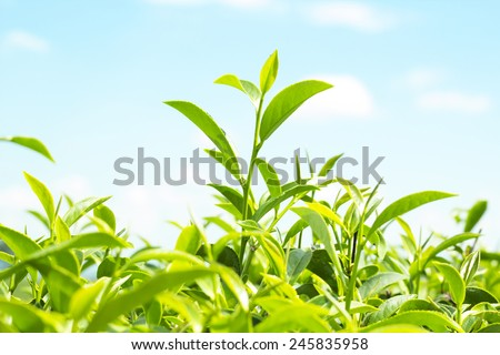 tea leafs background - stock photo
