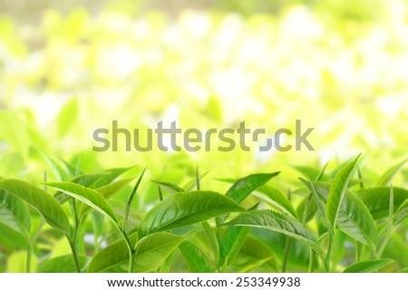 Tea leaves at a plantation in the beams of sunlight - stock photo