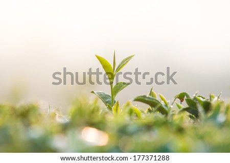 Tea leaves. Close up tea leaves with morning sunlight. - stock photo