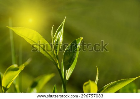 Tea leaves on green background in Munnar. Kerala. India