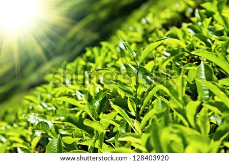 Tea leaves on plantation, India - stock photo