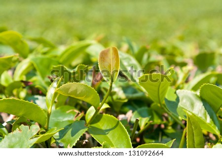 Tea leaves on plantation, thailand - stock photo