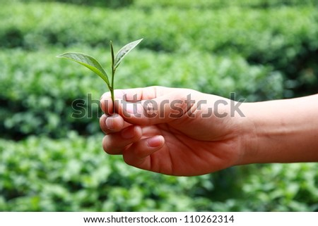 Tea Picker Hands with farm on background