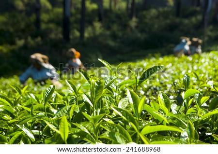 Tea pickers working at Kerela India. - stock photo