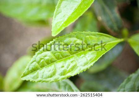 Tea Plant Camellia Sinensis - stock photo