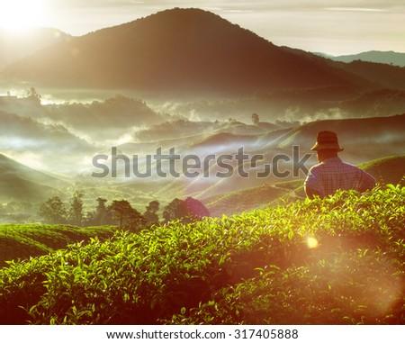 Tea Plant Harvest Hill Mountain Gardener Concept - stock photo