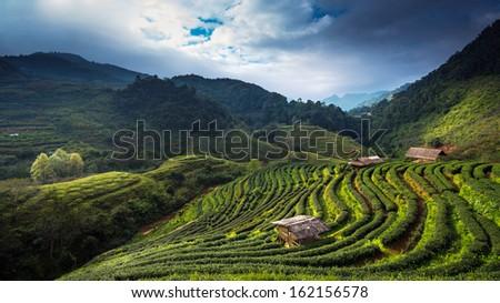 Tea plantation at Doi Ang Khang, Chiang Mai, Thailand - stock photo