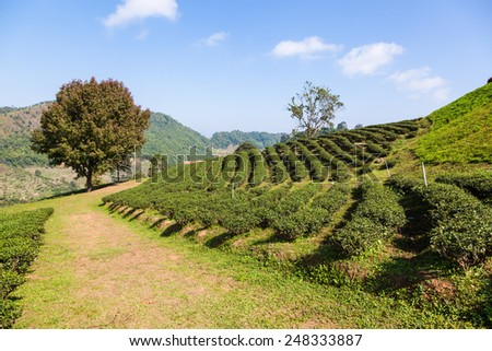 Tea plantation at Doi Mae Salong, Chiang Rai, Thailand