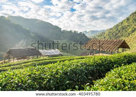 Tea plantation beautiful natural at chaing mai, thailand - stock photo