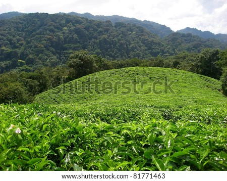 Tea plantation bordering rain forest in Rwanda