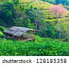 Tea plantation Cherry blossom sakura flower with home thailand - stock photo
