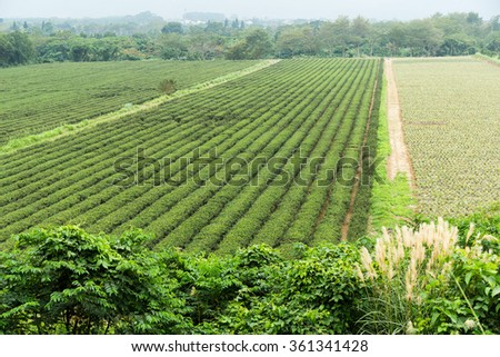Tea plantation farmland