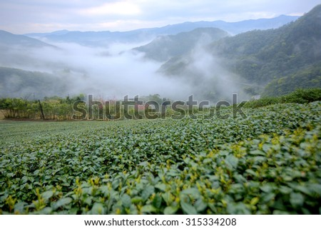 Tea plantation fields at dawn with morning fog in the distant valley, in Pingling, Taipei, Taiwan  - stock photo