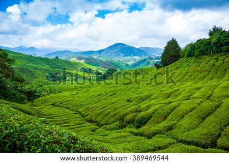 Tea plantation in Cameron Highlands at noon - stock photo