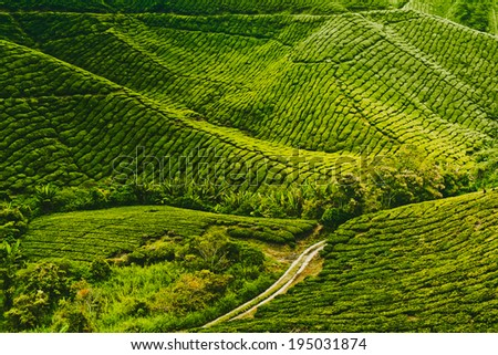 Tea plantation in Cameron highlands, Malaysia - stock photo