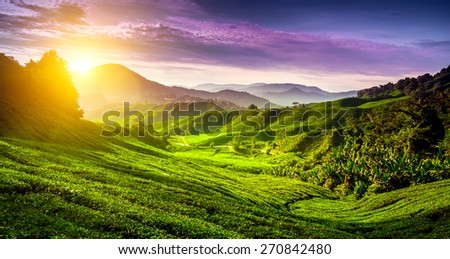 Tea plantation in Cameron highlands, Malaysia. Nature background - stock photo