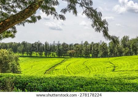 Tea plantation in Ethiopia - stock photo