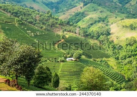 Tea plantation in mountain, Doi Mae Salong, Chiang Rai, Thailand  - stock photo