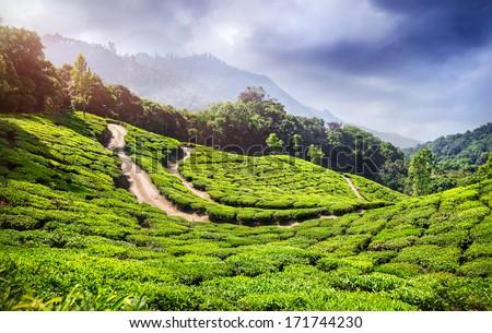 Tea plantation in Munnar, Kerala, India  - stock photo