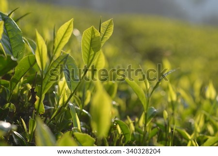 Tea plantation in Munnar, South India - stock photo