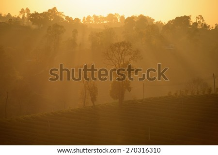 Tea Plantation in sunrise - stock photo