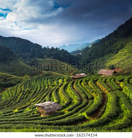 Tea plantation in the Doi Ang Khang, Chiang Mai, Thailand - stock photo