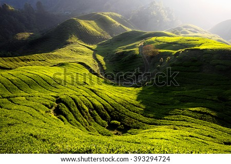 Tea plantation in the morning, Cameron highlands, Malaysia - stock photo