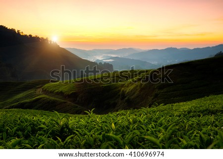 Tea plantation in the morning, Cameron highlands, Malaysia